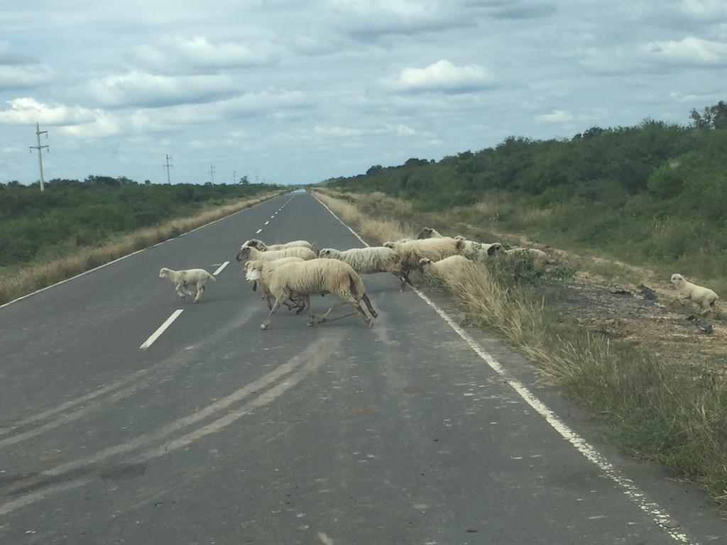 und Schafherden auf dem Heimweg