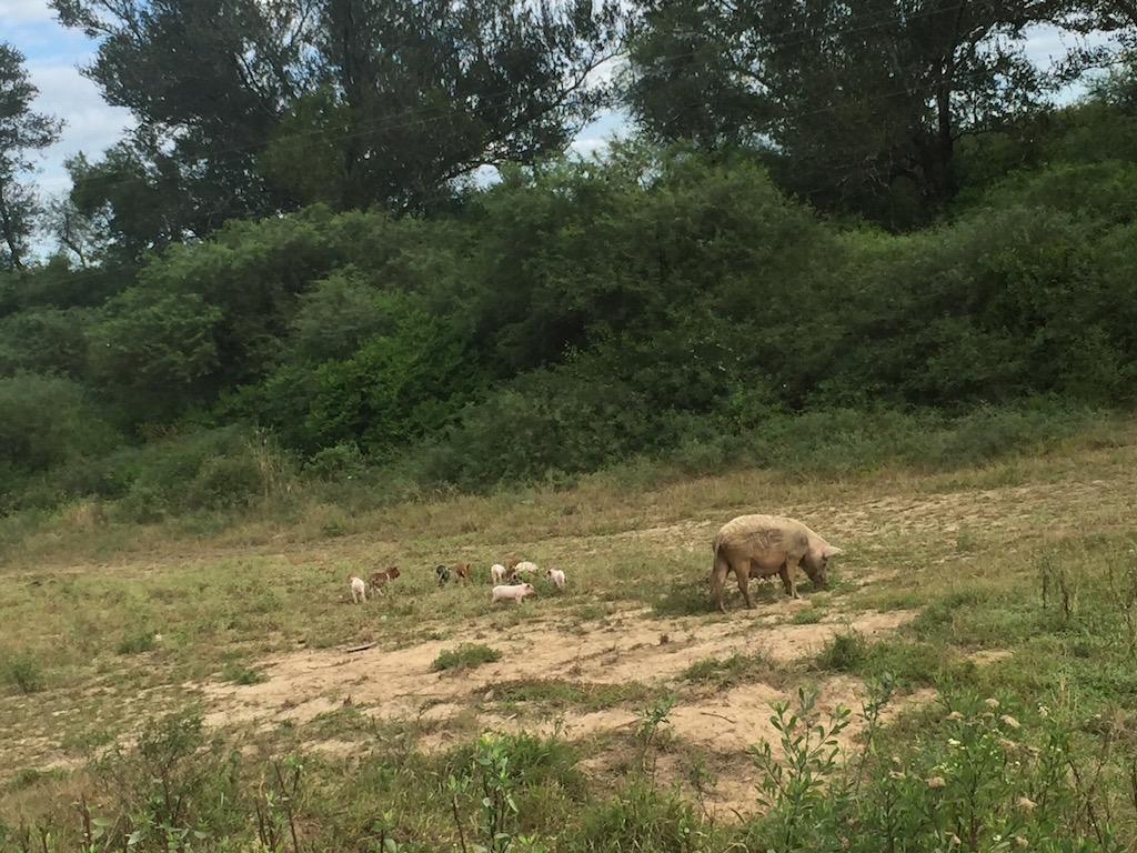 Schweinchenfamilien....