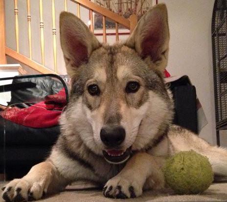 Alto Adige  -  Cane lupo di Saarloos trova nuova casa