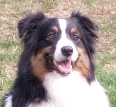 Südtirol  -  Australian-Shepherd-Mädchen findet neues Zuhause