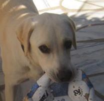 Südtirol  -  junger Labrador findet neues Zuhause