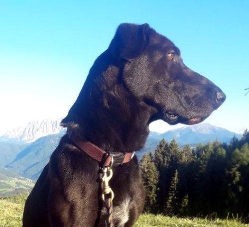 Südtirol  -  Schäfer-Bracke-Mischling findet neues Zuhause