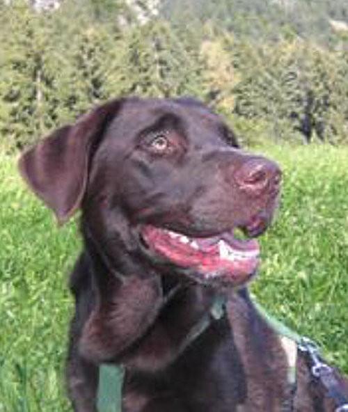 Südtirol  -  Chocolate Labrador findet neues Zuhause