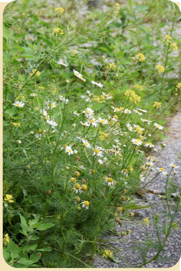 Selbst am Straßenrand wächst eine Vielfalt von Heilpflanzen.