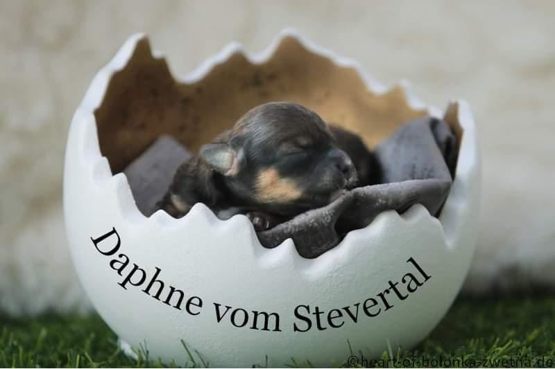 Daphne vom Stevertal