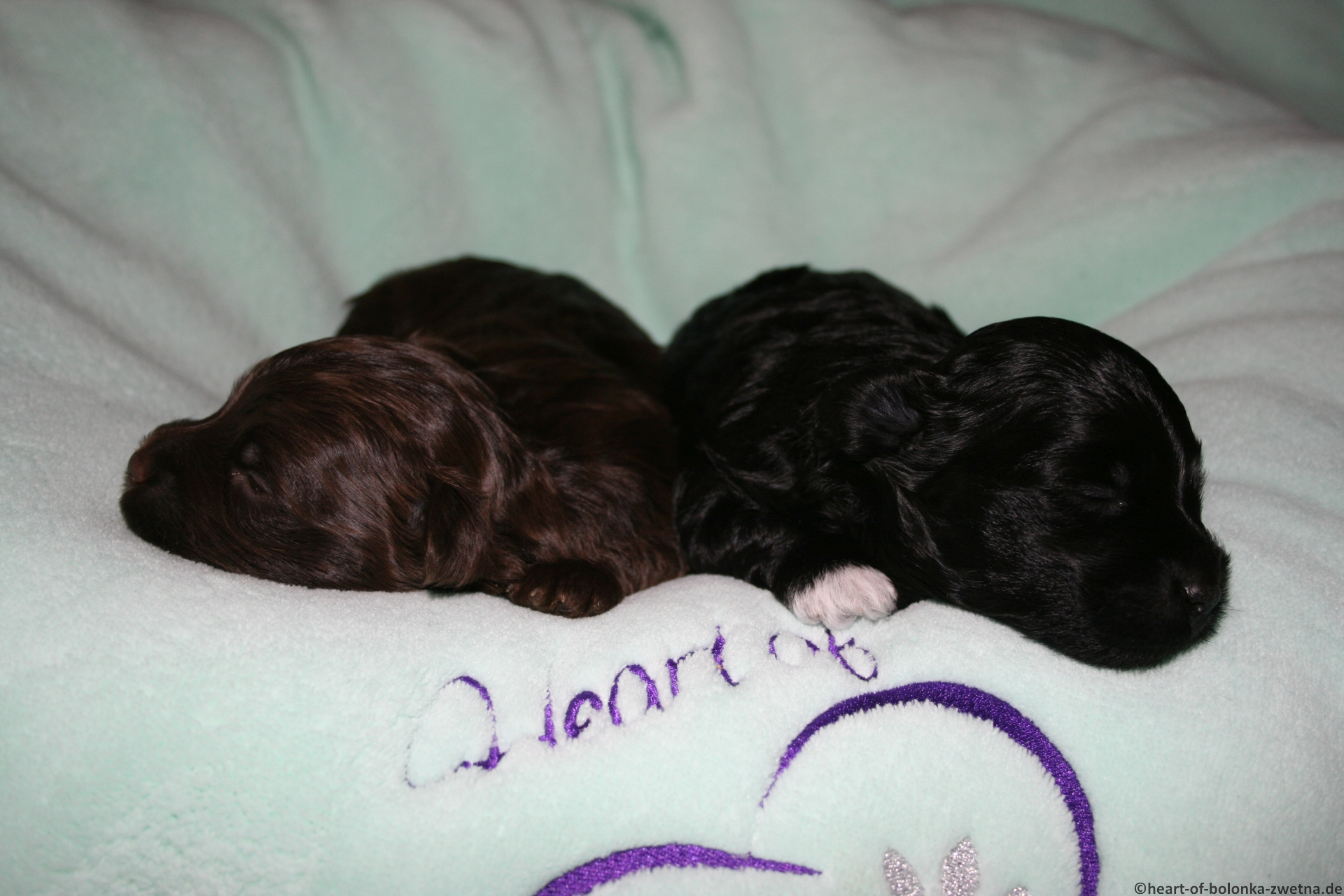 Finley und Findus Heart of little Paws, 15 Tage alt