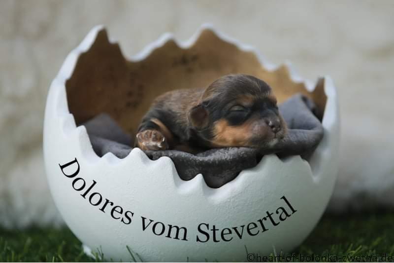 Dolores vom Stevertal