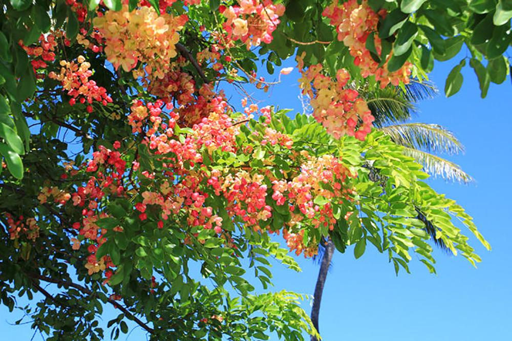 Rainbow Shower Tree, Waikiki, Oahu