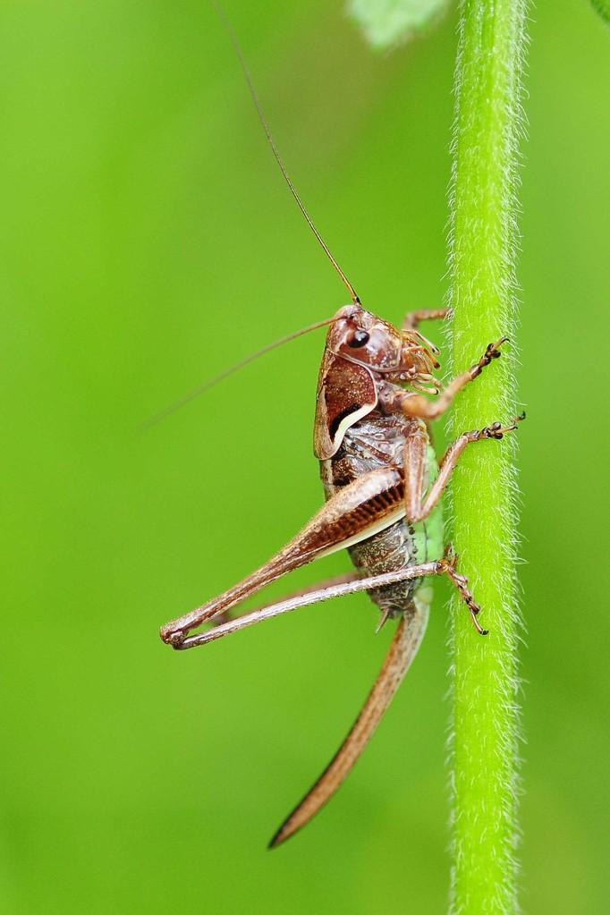 Pholidoptera aptera, Alpen-Strauchschrecke, Weibchen