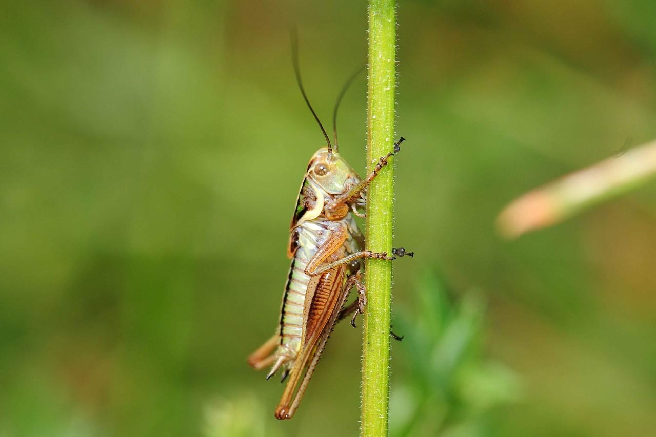 Metripotera roeselii, Roesels Beißschrecke, Männchen