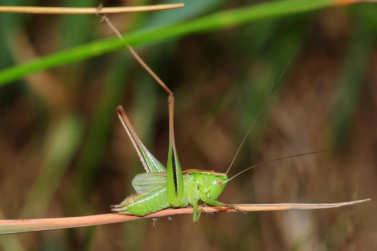 Metrioptera bicolor, Zweifarbige Beißschrecke, Männchen