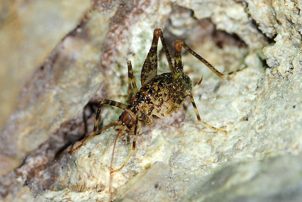 Troglophilus neglectus, Krauss Höhlenschrecke, Männchen