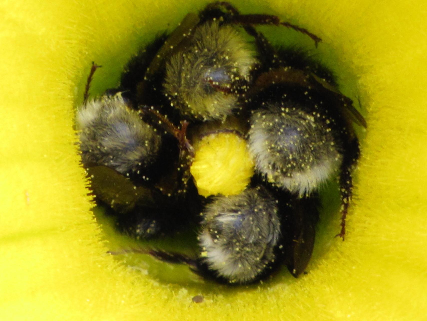Hummeln in einer Kürbis-Blüte