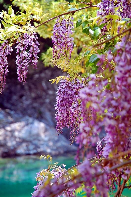 5月の京良谷。フジが咲きます