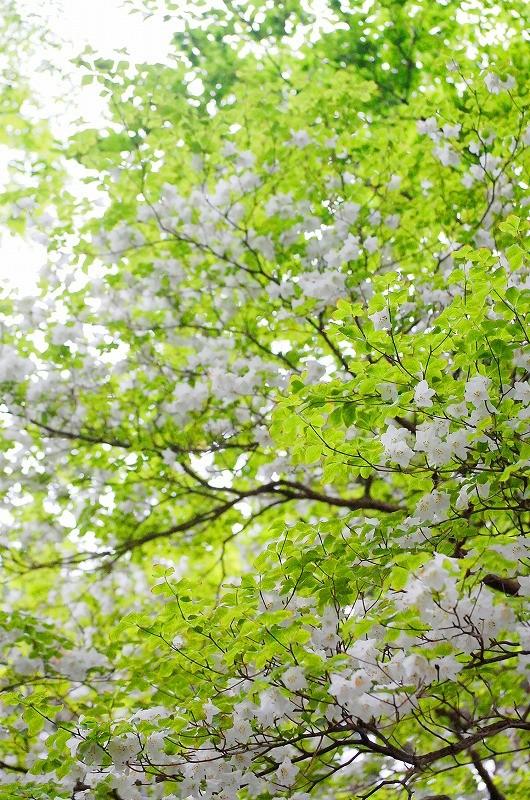 春は満開のシロヤシオ