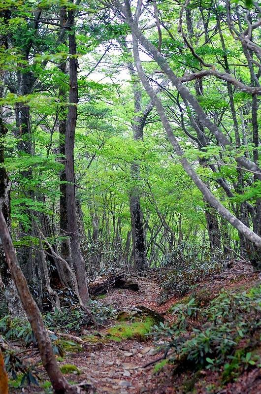 尾根筋に出ると広葉樹に出会えます