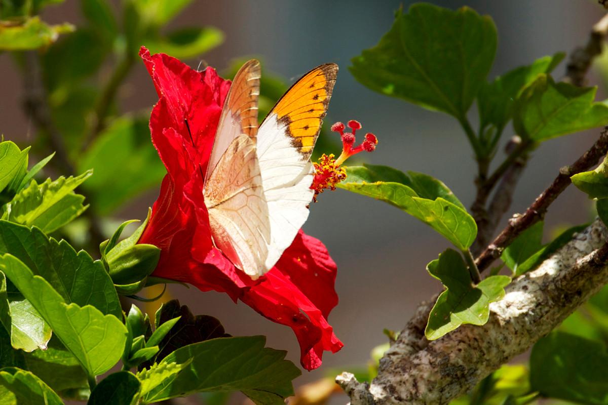 沖縄写真 ツマベニチョウ 沖縄の蝶