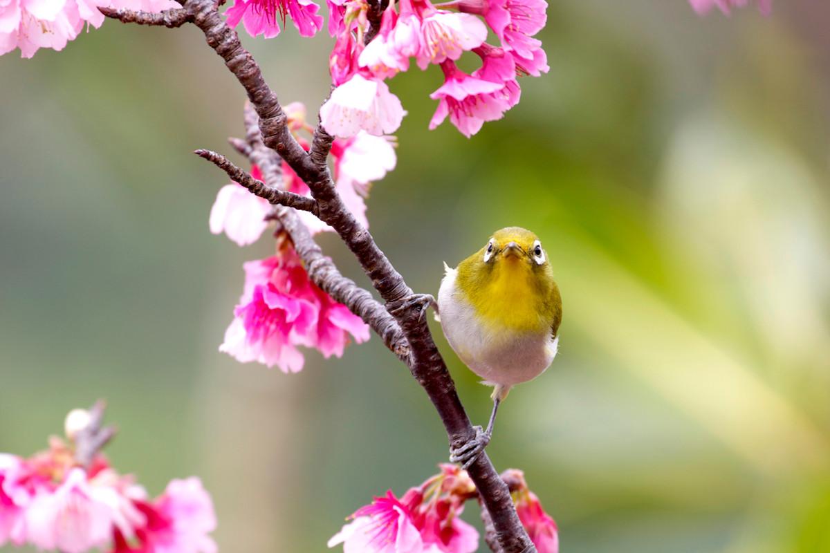 沖縄写真 メジロと緋寒桜