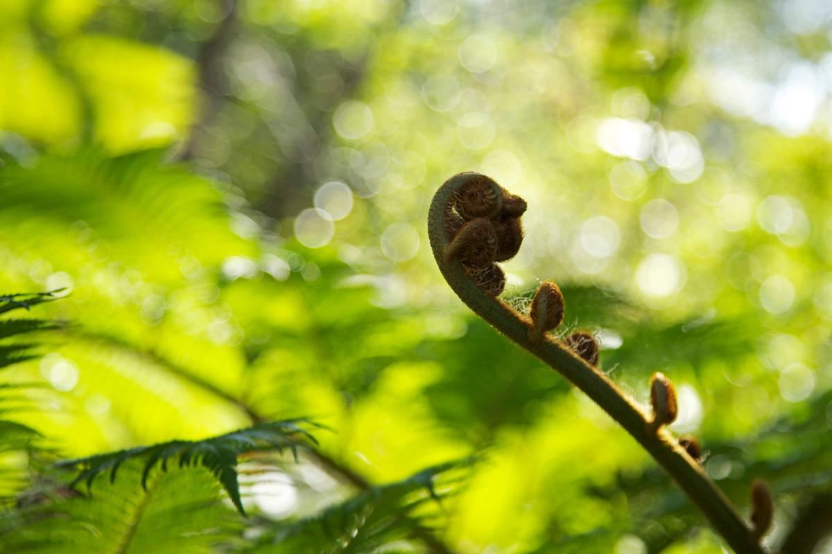 沖縄写真 ヒカゲヘゴ 沖縄の植物