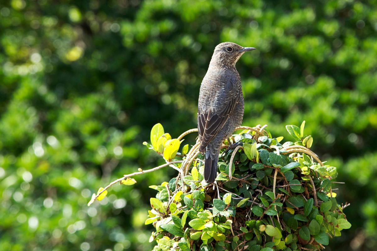沖縄写真 イソヒヨドリ♀ 沖縄の鳥