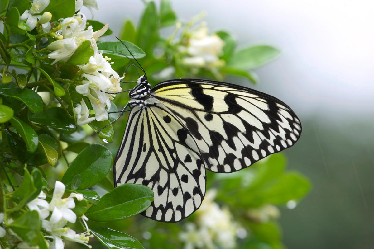 沖縄写真 オオゴマダラ 沖縄の蝶