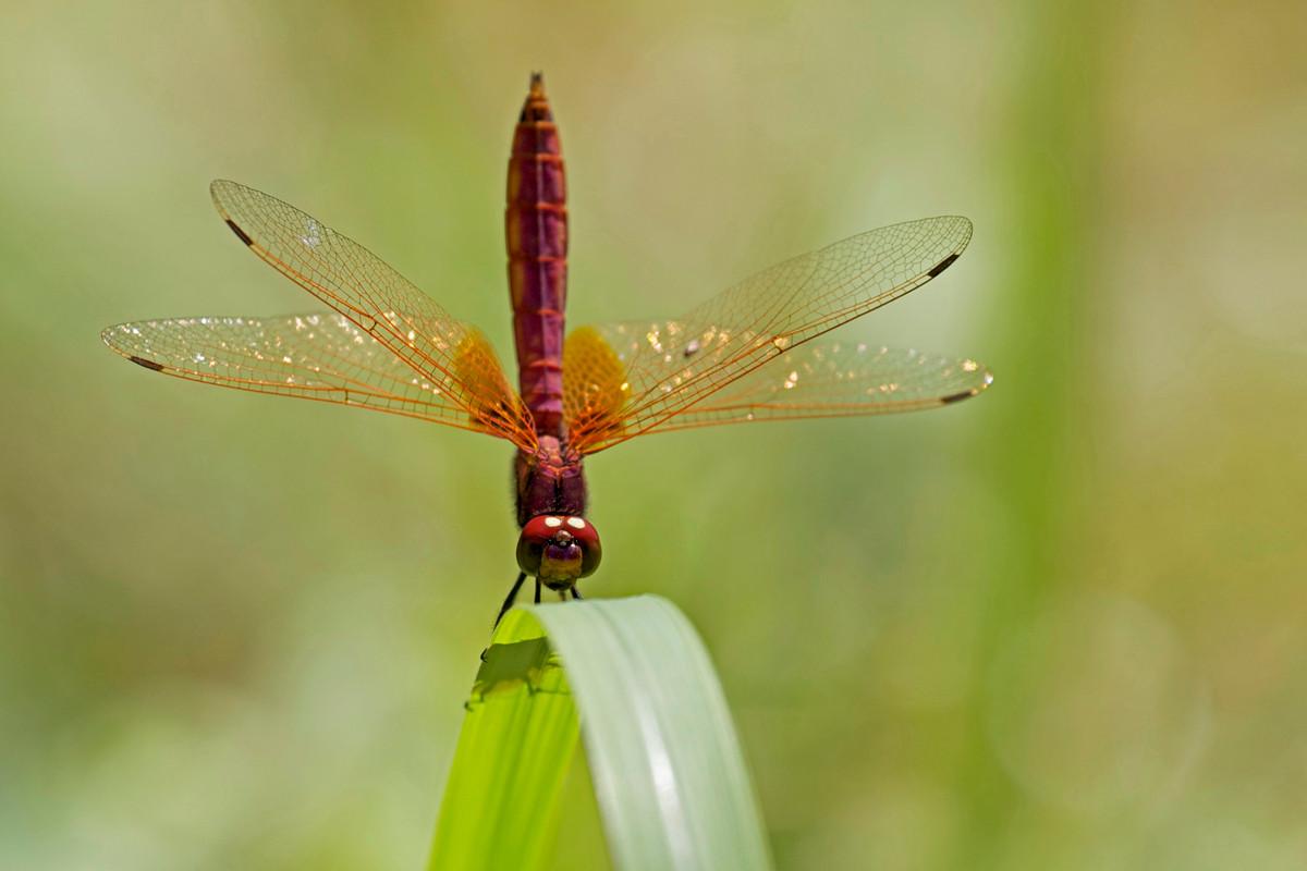 沖縄写真 ベニトンボ♂ 沖縄の昆虫