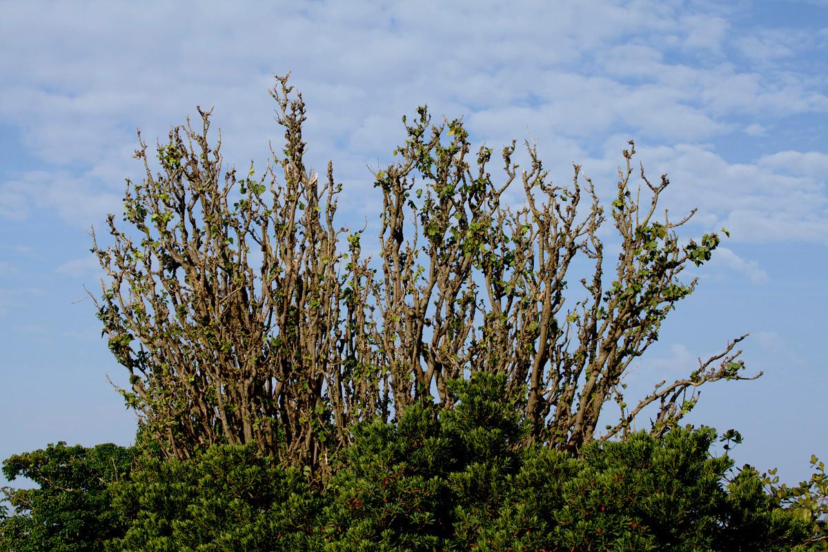 沖縄写真 デイゴの木 沖縄の花木