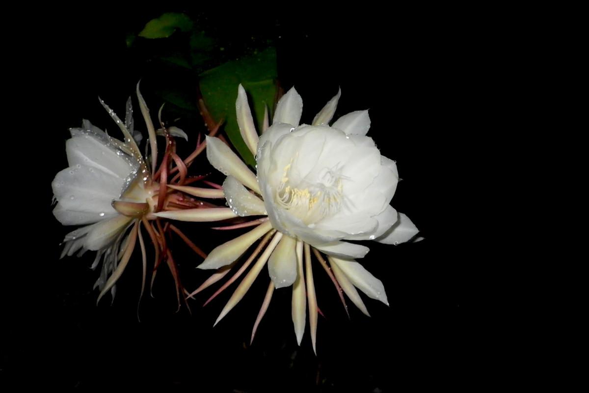 沖縄写真 月下美人 沖縄の花