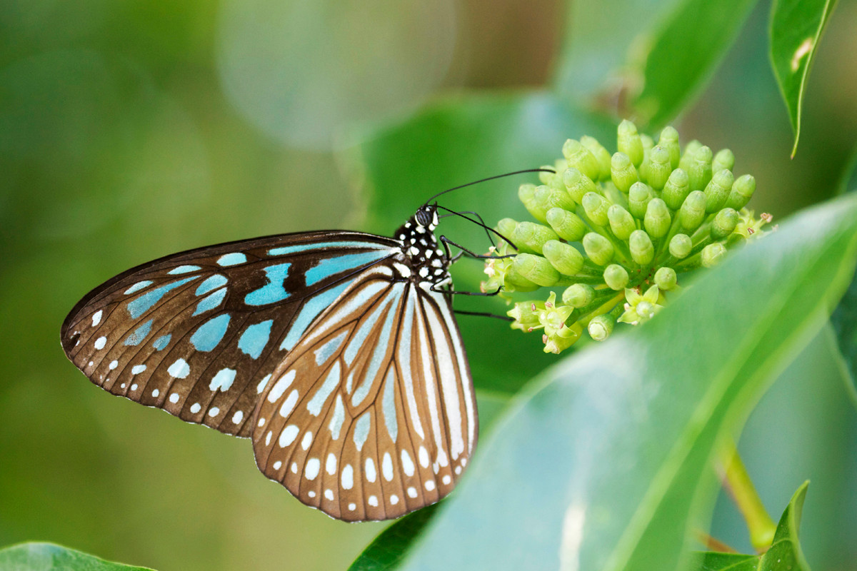 沖縄写真 リュウキュウアサギマダラ 沖縄の蝶