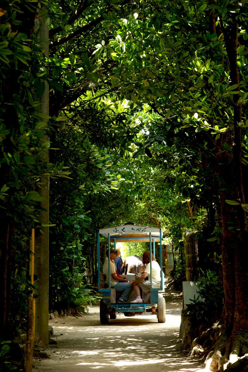 沖縄写真 備瀬崎 フクギ並木と水牛車