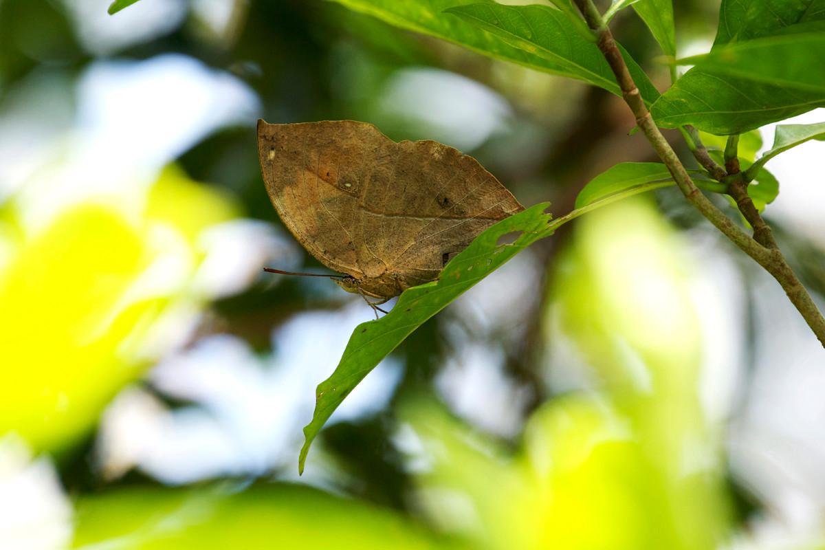 沖縄写真 コノハチョウ 沖縄の蝶