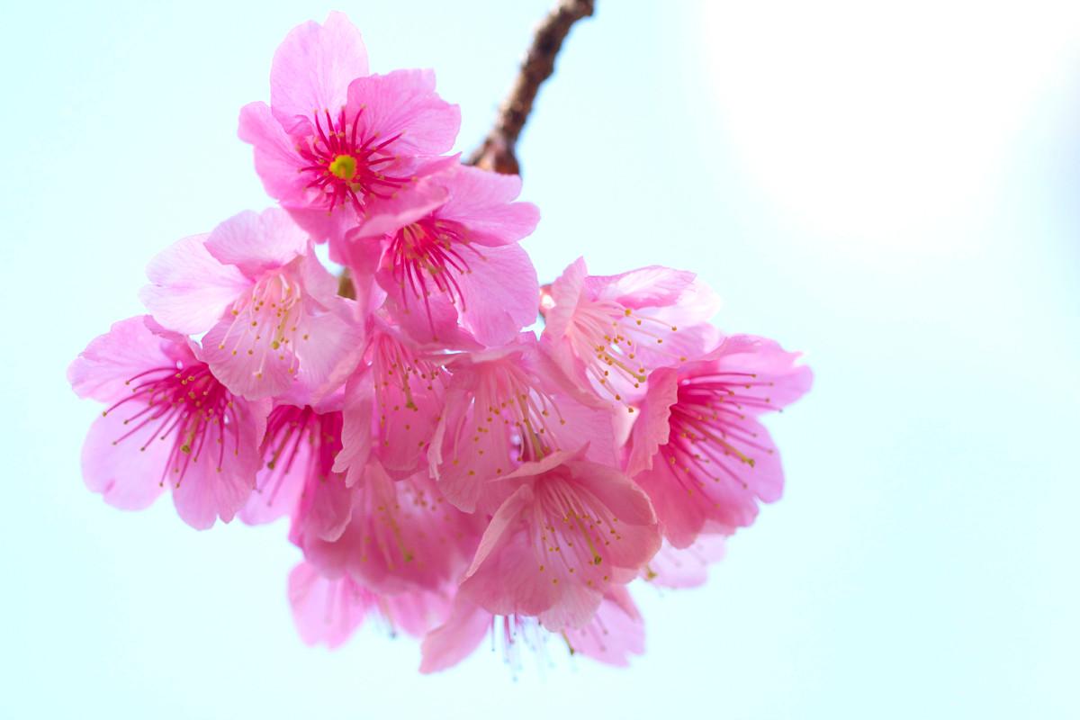沖縄写真 緋寒桜 沖縄の桜