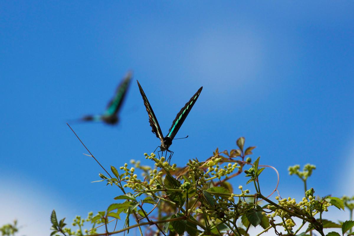 沖縄写真 アオスジアゲハ 沖縄の蝶