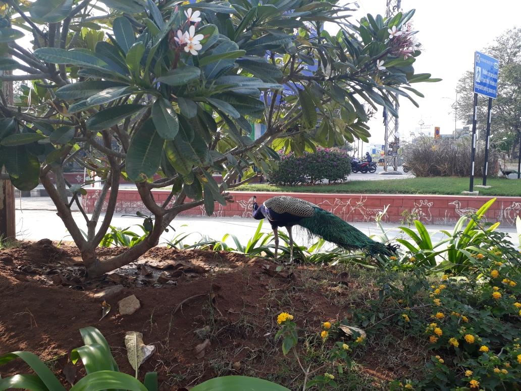 """Pfau, seltsamerweise vor dem """"Nationalpark"""" in Hyderabad"""