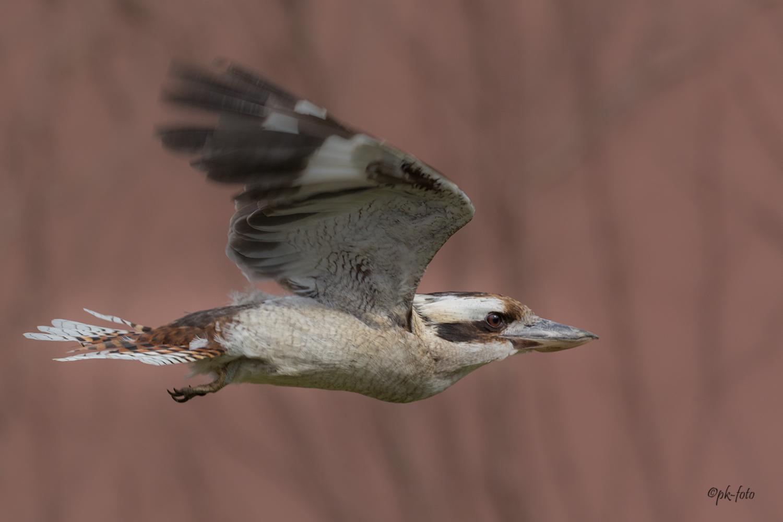 Jägerliest oder Lachender Hans - australischer Eisvogel
