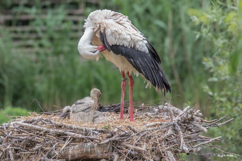 Storch mit Nachwuchs