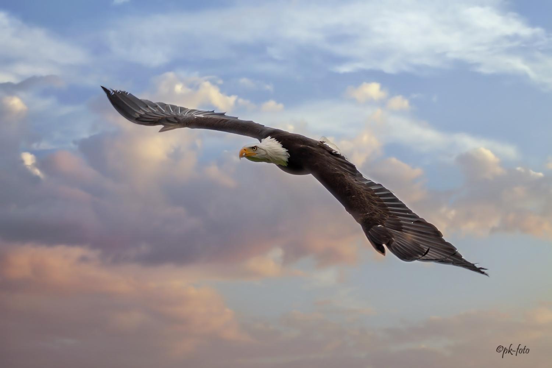 Weißkopfadler (Himmel verändert) - Falknerei Remscheid