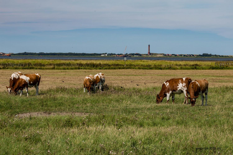 Salzwiesenkälber mit Blick auf Norderney