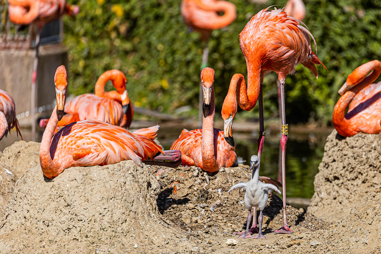 Flamingo-Nachwuchs im Krefelder Zoo