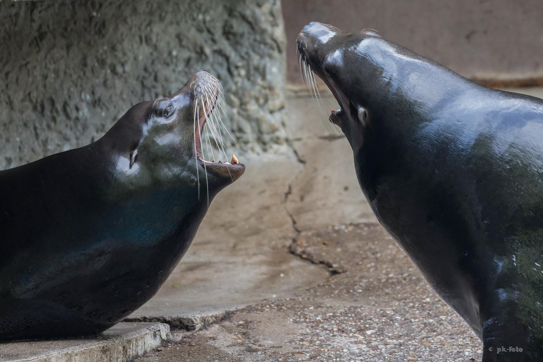 Streit zwischen Seelöwen