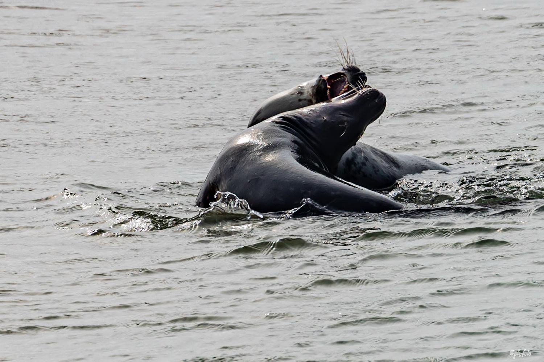 Seehundkampf auf der Düne vor Helgoland im Juni 2019