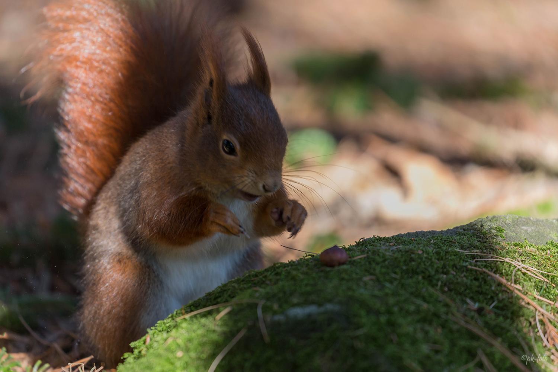 Eichhörnchen im Dortmunder Rombergpark