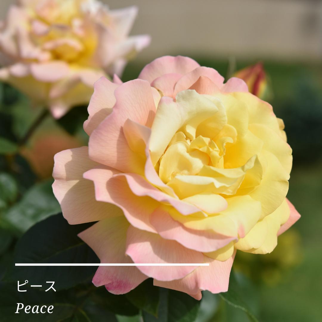 サロンのバラ紹介♡
