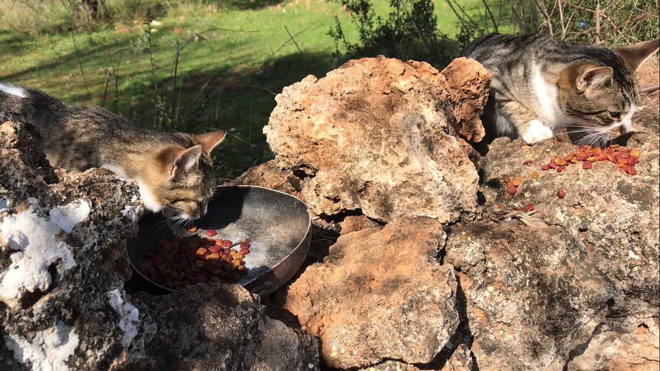 5 Katzen in Duaci über Tierfreunde Antalya