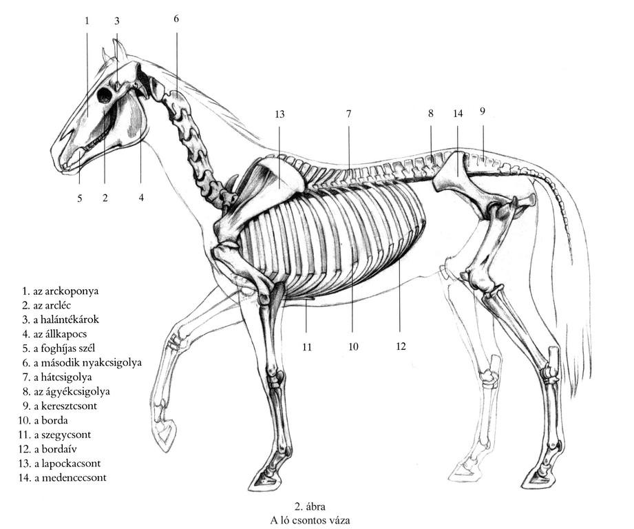 A ló csontos váza