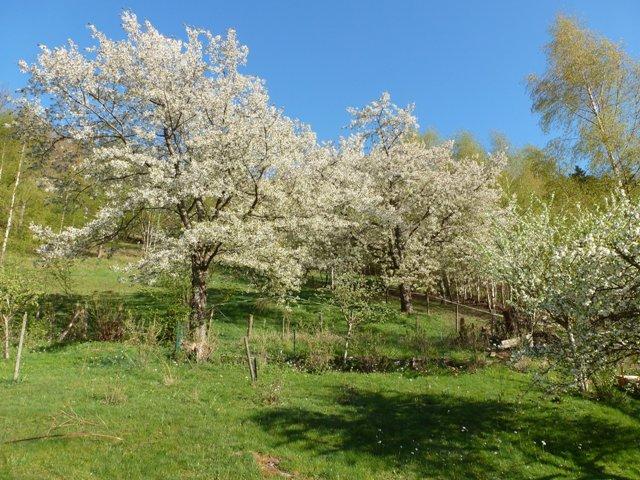les cerisiers en fleur