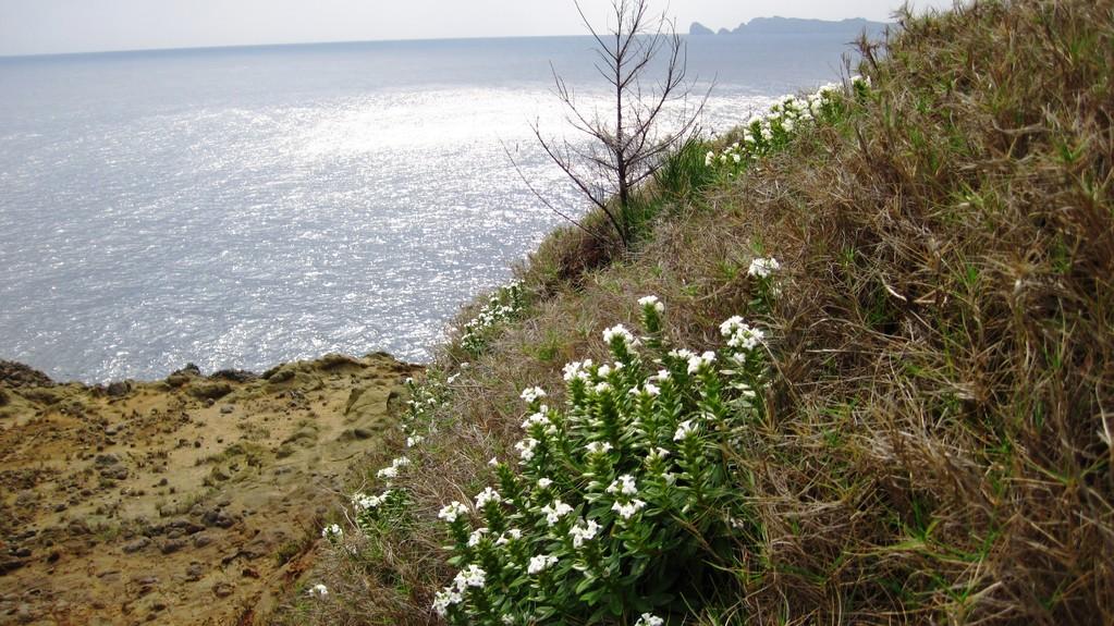 裏高根で咲く母島に春を告げるオオハマボッス