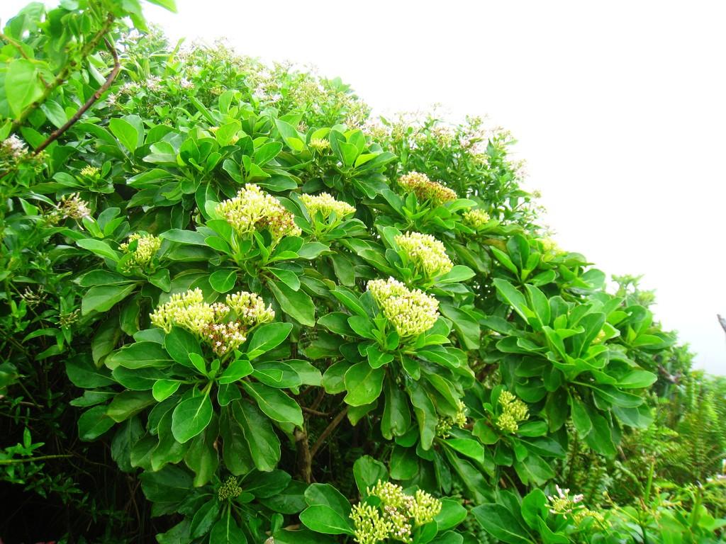 ワダンノキの開花