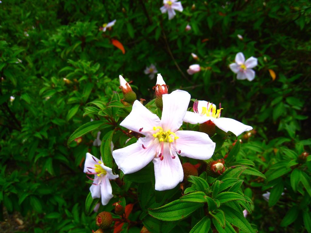 乳房山で初夏に見られるハハジマボタンの開花