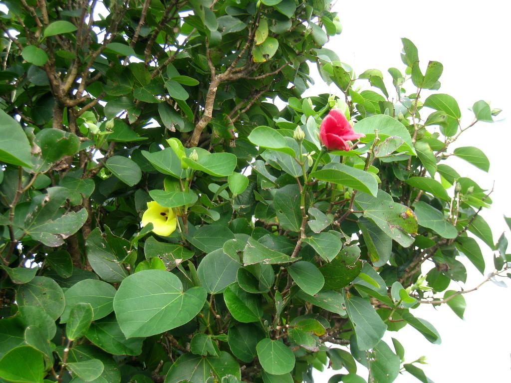 一日で色が変わる固有種テリハハマボウ
